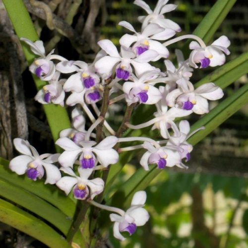 Vanda-lilacina-specie