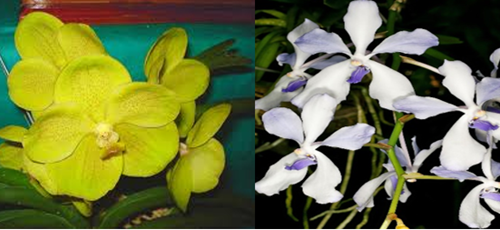 thailand-gold-x-coerulea